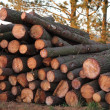Pine Tree Logs — Stock Photo