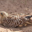 Stock Photo: Sand Grouse Bird