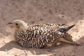 Sand Grouse Bird — Stock Photo