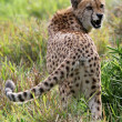 Snarling Cheetah Wild Cat — Stock Photo #2983562