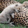 Adorable Cheetah Cub Resting — Stock Photo