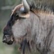 Black Wilderbeest Portrait — Stok fotoğraf