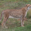 Cheetah Prowling — Stock Photo