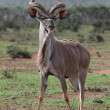 Kudu Antelope Bull - Stock Photo