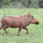 Warthog Running — Stock Photo #3064392