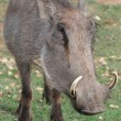Warthog Portrait — Stock Photo #3064416