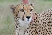Tame Cheetah — Stock Photo