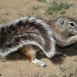 Ground Squirrel — Stock Photo #3130087