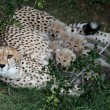Cheetah Cubs and Mom — Stock Photo