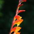 Orange Canna Lily Flowers - Stock Photo