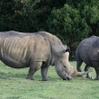 White Rhino Pair - Stock Photo