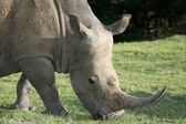 White Rhinoceros Potrait — Stock Photo