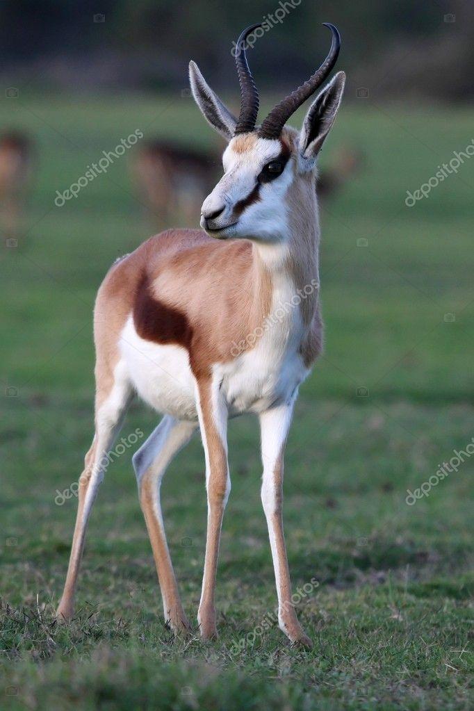 Springbok Antelope — Stock Photo © fouroaks #3154648