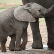 African Elephant Baby — Stock Photo