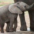 African Elephant Baby — Stock Photo #3439004