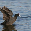 Stock Photo: Coot Waterfowl