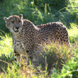 Backlit Cheetah — Stockfoto