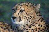 Cheetah portret — Stockfoto