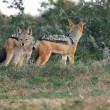 Black Backed Jackals — Stock Photo