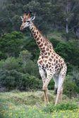 Giraffe Male — Stock Photo