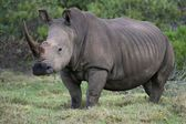 White Rhino Portrait — Stock Photo