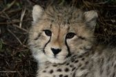 Baby Cheetah Portrait — Stock Photo