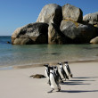 Постер, плакат: African Penguins at Boulders