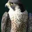 Peregrine Falcon - Stock Photo