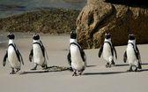 非洲企鹅 — 图库照片