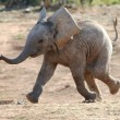 Baby Elephant Running - Stock Photo