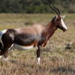 Bontebok Antelope - Stock Photo