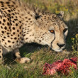 Royalty-Free Stock Photo: Cheetah and Food