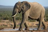 African Elephant at Waterhole — Stock Photo