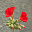 Red Geranium - Stock Photo
