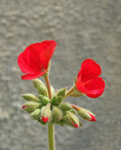 Red Geranium — Photo