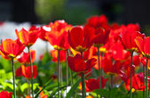 Red tulips bed — Stock Photo