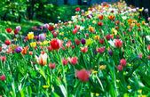 Multicolor sunny tulips bed — Stock Photo