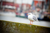 Seagull on a harbor background — Stock Photo