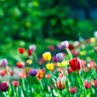 Multicolor sunny tulips bed - Stock Photo