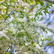 Birdcherry tree blossom at spring - Stock Photo