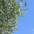 Birdcherry tree blossom - Stock Photo