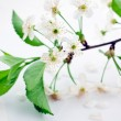 Bloomy cherry branch on envelope - Stock Photo