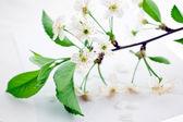 Bloomy cherry branch on envelope — Stock Photo
