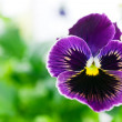 Purple pansy macro shot. - Stock Photo