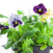 Pansy&#039;s sprouts in plastic pots - Stock Photo