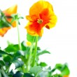 Orange pansy&#039;s sprout - Stock Photo