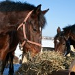Two eating hay horses — Stock Photo