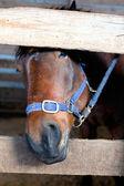 Testa di cavallo in una stalla — Foto Stock
