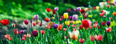 Multicolor sunny tulips bed — Stock Photo