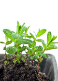 Green mint sprouts in plastic pot — Stock Photo